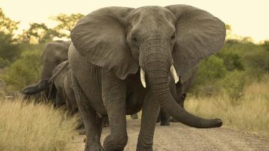 Revelan por qué los elefantes tienen mayor resistencia al cáncer