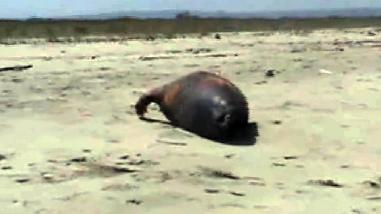 Hallan tortugas y lobos marinos muertos en playa Hermosa