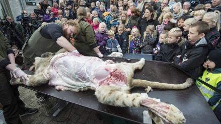 Dinamarca: zoológico disecciona un león delante de niños