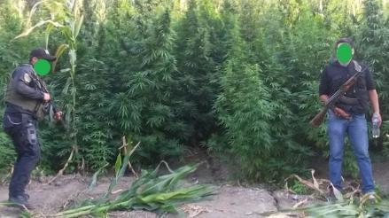 Chiclayo: PNP erradica 36 mil plantones de marihuana en caserío de Huarmaca
