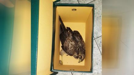 Personal de Serfor rescata gavilán tras llamado por WhatsApp del Rotafono