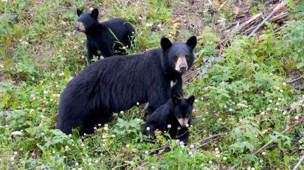 EEUU: más de 200 osos fueron asesinados en primer día de temporada de caza