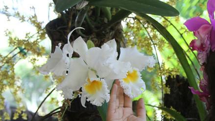 Moyobamba: se realizará el Festival de la Orquídea