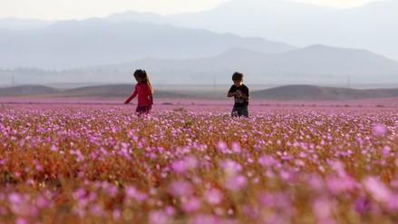 Desierto chileno muestra el mayor florecimiento de los últimos 18 años