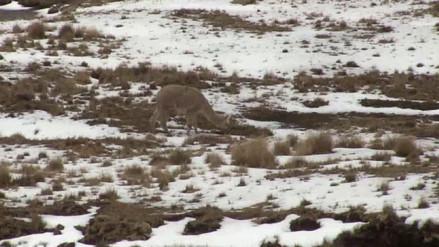 Espinar: fuertes nevadas se registran en el distrito de Condoroma