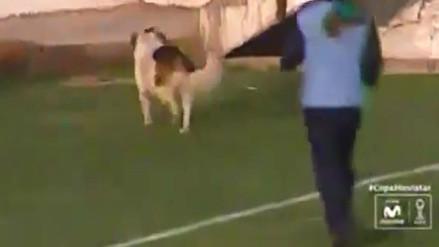 Universitario de Deportes: ¿Dejaron entrar al perro para enfriar el partido?