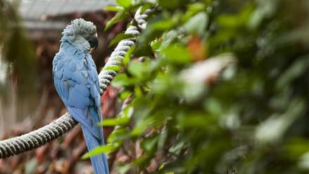 Brasil quiere reproducir y liberar 150 ejemplares de ave considerada extinta
