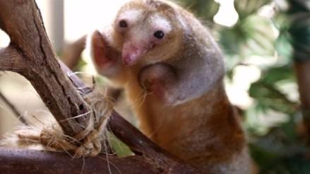 Perú es el único país del mundo que tiene a hormigueros pigmeos cautivos