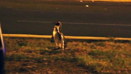 Pingüino escapa de vivero forestal de Chimbote