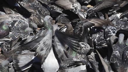 Sobrepoblación de palomas: cuatro soluciones inteligentes