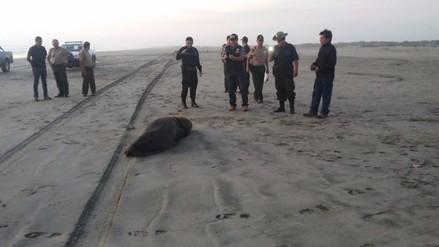 Pescadores habrían agarrado a machetazos a lobo marino