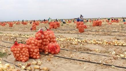 En Olmos cosechan primeras toneladas de cebolla y páprika
