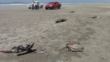 Imarpe encontró cerca de 60 especies de fauna marina muertas en el litoral de Lambayeque