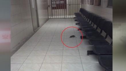 Lima: Presencia de roedores en hospital del Ministerio de Salud