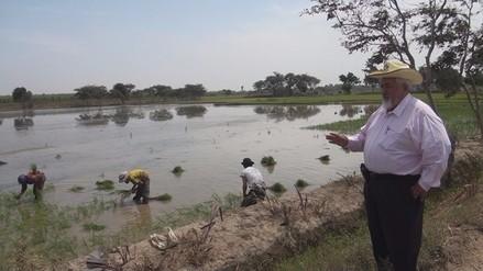 Alistan instalación de 29 mil hectáreas de arroz en la región