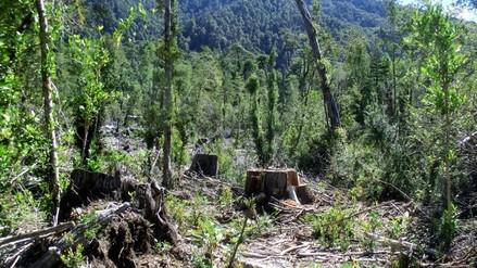 Andahuaylas: denuncian tala de pinos en el distrito de Kishuará