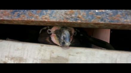 Piura: denuncian pingüino en cautiverio
