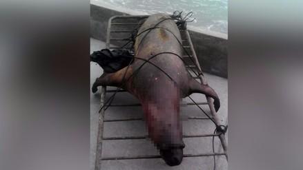 Punta Hermosa: hallan a lobo de mar muerto