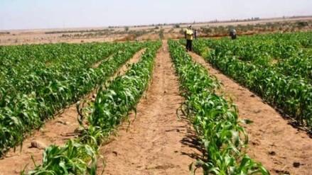 Cultivos afectados por falta de lluvias en Andahuaylas