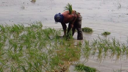 INIA presentará nueva variedad de arroz resistente a lluvias