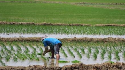 Lambayeque: INIA recomienda la siembra directa de arroz