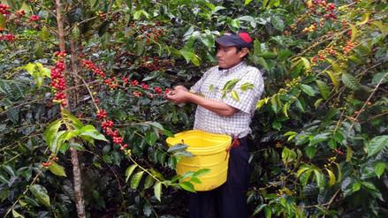 Café: A octubre el 23% de lo exportado es producido por cooperativas