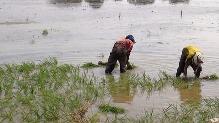 Se inició siembra de 30 mil hectáreas de arroz en Lambayeque