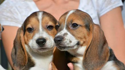 Estados Unidos: nace la primera camada de perros por fecundación in vitro