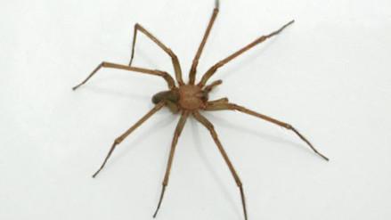 Advierten sobre arañas con veneno mortal en casas limeñas