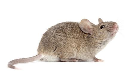 Desarrollan nueva sustancia que reduce el peso a ratones obesos