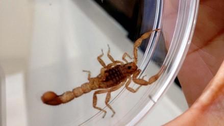 Niño picado por escorpión recibe antídoto