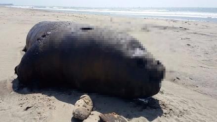 Chiclayo: hallan a lobo de mar en descomposición