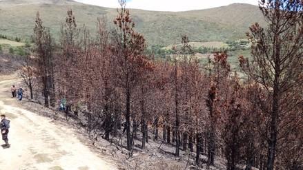 Piura: incendio afectó más de tres mil pinos en Huancabamba