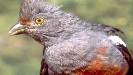 Ave cortarrama de Bosque de Pómac en peligro de extinción
