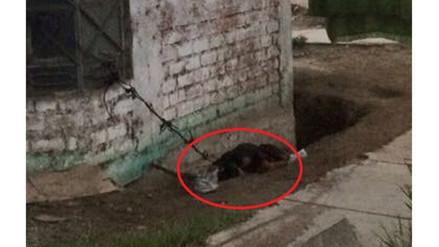 WhatsApp: perro vive atado a una ventana en Villa el Salvador