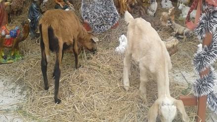 Instalan nacimiento con animales vivos en distrito de Jayanca