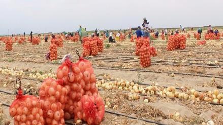 Experimentan variedades agrícolas que se adapten al clima caluroso de Olmos