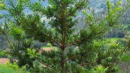 Abancay: árbol Intimpa se deja de vender en mercados por Navidad