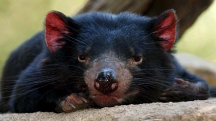Descubren un nuevo tipo de cáncer que amenaza a los diablos de Tasmania