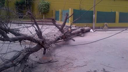 SJL: cae árbol y restringe circulación vehicular