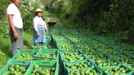 Exportación de palta Hass serrana creció 55% en últimos cuatro años