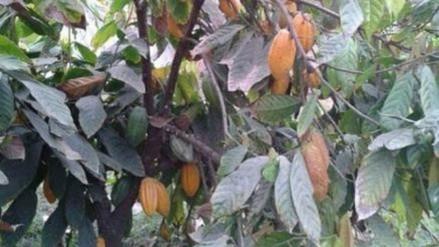 Sembrarán más de mil 200 hectáreas de cacao en áreas deforestadas