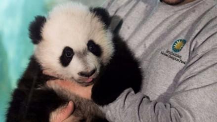 Panda gigante 'Bei Bei' se presentó al público en el zoológico de Washington