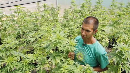 La mayor plantación legal de cannabis de Latinoamérica está en Chile