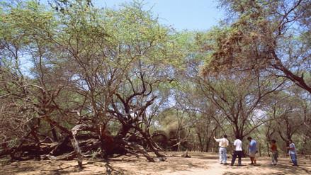Santuario Histórico de Bosques de Pómac en peligro por plaga de hongos