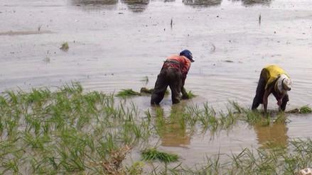 Garantizan campaña agrícola en el valle Chancay tras registro de lluvias