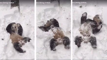 Facebook: el único que disfruta de la tormenta Jonas es este oso panda
