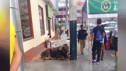 SMP: Toro obstruye vía pública y genera inseguridad