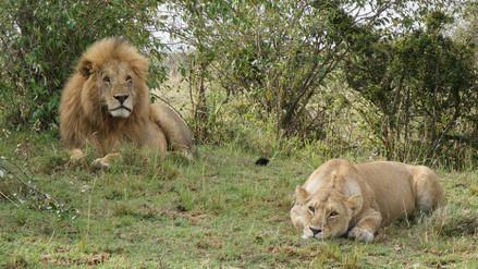 Descubren una población desconocida de leones en una reserva de Etiopía