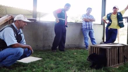 Rescatan cría de oso de anteojos en Huancabamba